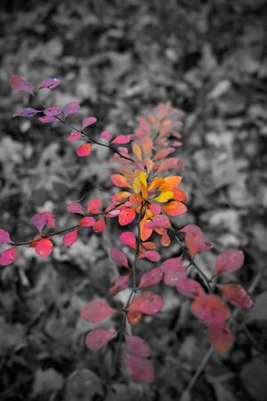 Fall foliage.  Siedman Park,  Ada, Michigan.  Fun with Photoshop layer masks.