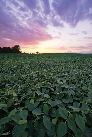 Soybean Serenity