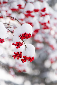 Snow-covered Ornamental Cherry Tree