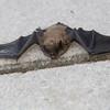 Bat found on sidwalk in Mackinaw Island