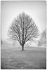 Lone Tree in Fog, Eaton Rapids