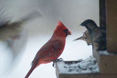 Cardinal + Finches