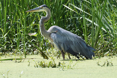 Fishing Great Blue Heron