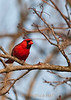 Male cardinal that rules my backyard!