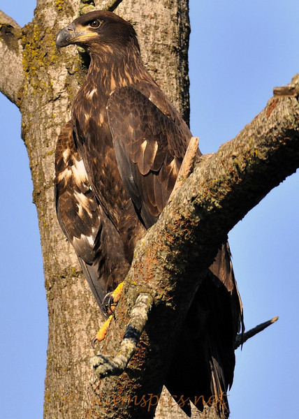 This is a juvenile bald eagle, who has just left the nest.<br /> I've been observing this nest, outside of Bellevue MI for about three months. (spring / summer 2010)<br /> <br /> Extraordinary to watch both adult bald eagles and their two hatchling, eaglets and now newbie flyer's!