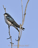 Barn or tree swallows are quite common in our area in the latter spring and early summer.