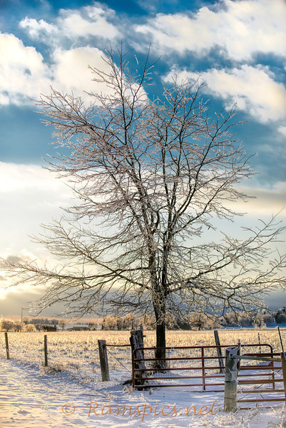 Lone tree and fence covered with ice, Tirrell farm, Christmas Eve 2013.