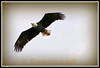 Bald eagle flies overhead, near Charlotte MI May 2011.