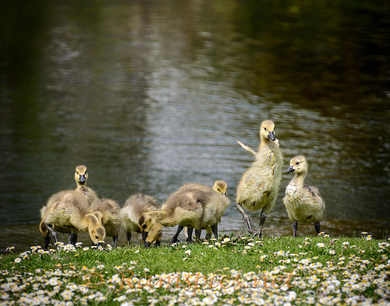 Canadian Geese chicks on the bank of Island Park Eaton Rapids, Michigan.