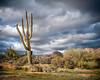 Saguaro under storm clouds.<br /> Photograph taken outside of Scottsdale Arizona prior to a brief storm.