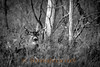 Black and White of 2010 buck outside of Bellevue Michigan.