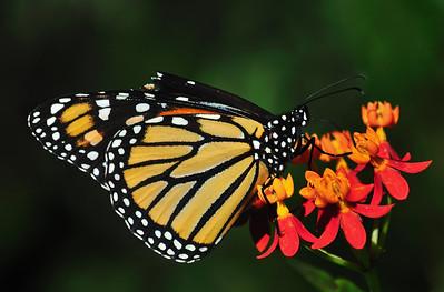 Monarch September 18, 2008