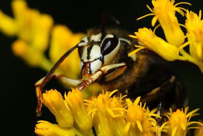 A bald-face hornet feeding on a goldenrod plant, Central Wisconsin.
