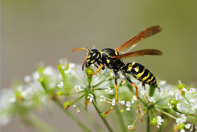 A wasp species near a mountain stream in Southern Poland.