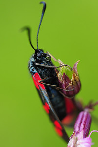 A species of burnet moth in a mountain meadow in Southern Poland.