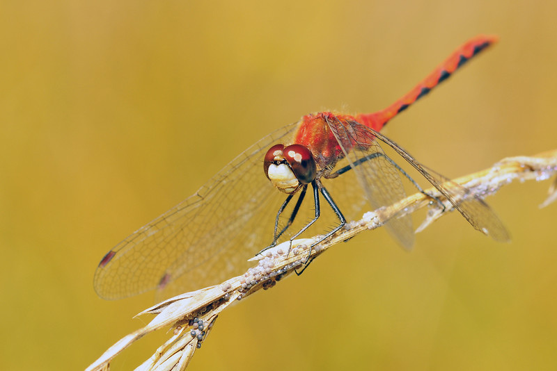 A ruby meadowhawk dragonfly in Northern Wisconsin.