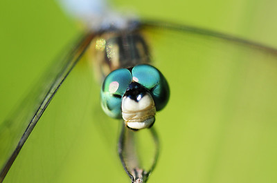 Portrait of a male blue dasher dragonfly, Iowa.