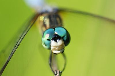 Portrait of a male blue dasher dragonfly, Iowa.