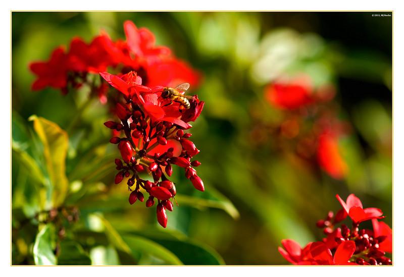 A Honeybee lands on a Spicy Jatropha Plant (Jatropha integerrima)