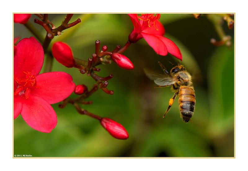 A Honeybee Inspects a Spicy Jatropha (Jatropha integerrima) Plant in Sanibel, Florida.