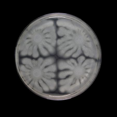Four swarms of Pseudomonas aeruginosa meet No. 1