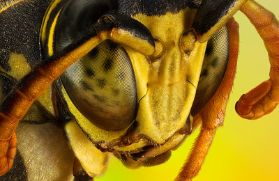 Extreme macro portrait of a wasp