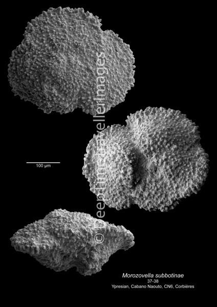 Morozovella subbotinae CN 6 37-38