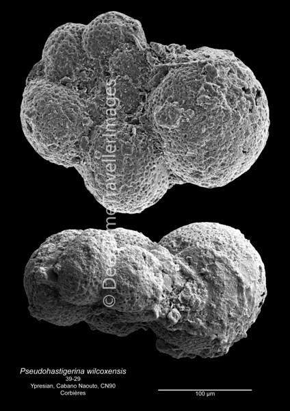 Pseudohastigerina wilcoxensis CN90 39-29