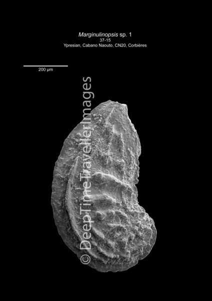 Marginulinopsis 37-15