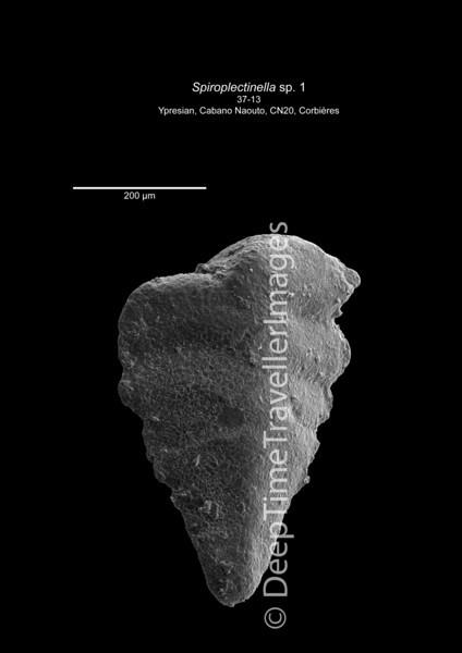 Spiroplectinella 37-13