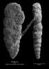 Textularia sp CN 6 37-41