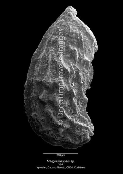 Marginulinopsis sp CN34 38-7