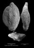 Quinqueloculina sp CN 29 37-28