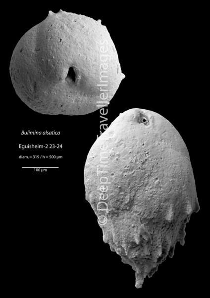 "Bulimina alsatica, Late Rupelian, ""Marnes à foraminifères""<br /> <br /> outcrop Eguisheim, near Colmar, Alsace, France"