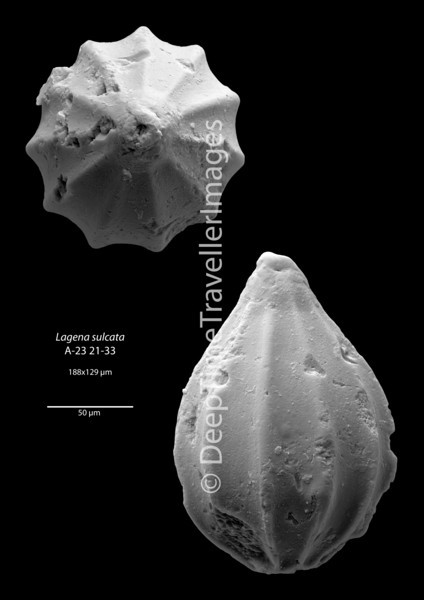"Lagena sulcata, Late Rupelian, ""Marnes à Cyrènes""<br /> <br /> drilling Allschwil-2, near Basel, Switzerland"