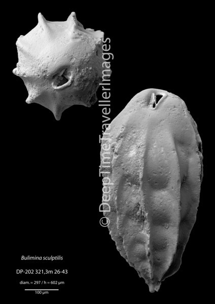 "Bulimina sculptilis, Late Rupelian, ""Marnes à foraminifères""<br /> <br /> driling DP-202, near Mulhouse, France"