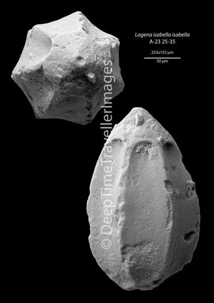 "Lagena isabella, Late Rupelian, ""Marnes à Cyrènes""<br /> <br /> drilling Allschwil-2, near Basel, Switzerland"