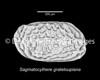 Sagmatocythere? grateloupiana, Langhian, marine, Faluns<br /> <br /> Thenay, France