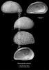 Heterocyprideis sorbyana, Late Pleistocene, marine, glacial assemblage<br /> <br /> Lopphavet, Atlantic offshore northern Norway