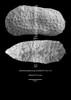 """Cytheromorpha ex gr. zinndorfi, male carapace , Early Rupelian, marine, """"Marnes à Cyrènes""""<br /> <br /> drilling Allschwil-2, near Basel, Switzerland"""