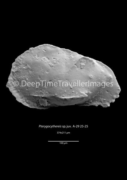 "Pterygocythereis sp. juv., Early Rupelian, marine, ""Marnes à Cyrènes""<br /> <br /> drilling Allschwil-2, near Basel, Switzerland"