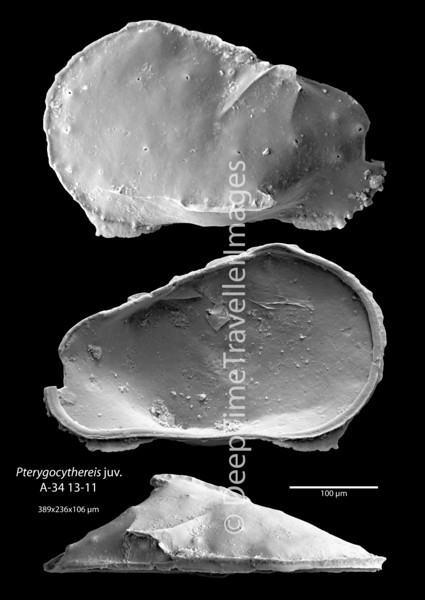 """Pterygocythereis sp. juv., Late Rupelian, marine, """"Couches à Mélettes""""<br /> <br /> drilling Allschwil-2, near Basel, Switzerland"""