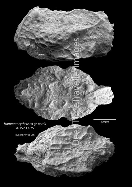 "Hammatocythere ex gr. oertlii, adult carapace, Early Rupelian, marine, ""Zone fossilifère""<br /> <br /> drilling Allschwil-2, near Basel, Switzerland"