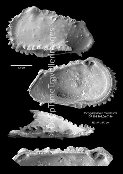 "Pterygocythereis ceratoptera, female left valve, Late Rupelian, marine, ""Marnes à Cyrènes""<br /> <br /> drilling DP-202, near Mulhouse, Alsace, France"