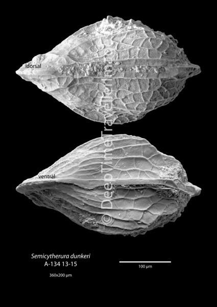 "Semicytherura dunkeri, adult carapace, Early Rupelian, marine, ""Zone fossilifère""<br /> <br /> drilling Allschwil-2, near Basel, Switzerland"