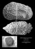 """Cytheromorpha ex gr. zinndorfi, female carapace , Early Rupelian, marine, """"Marnes à Cyrènes""""<br /> <br /> drilling Allschwil-2, near Basel, Switzerland"""