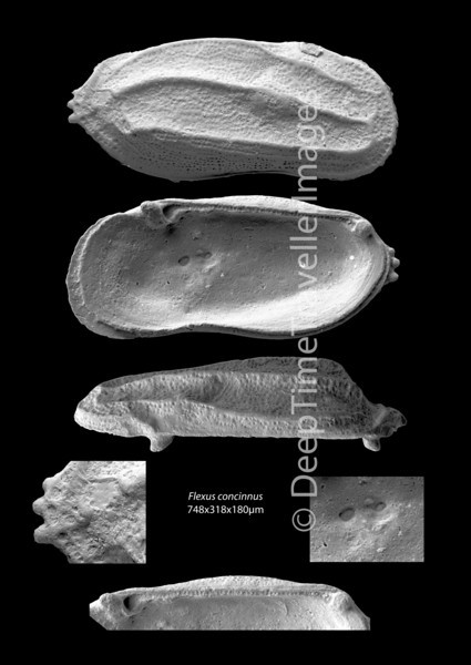 "Flexus concinnus, male right valve, Late Rupelian, marine, ""Marnes à Cyrènes""<br /> <br /> outcrop Retzwiller, near Altkirch, Alsace, France"