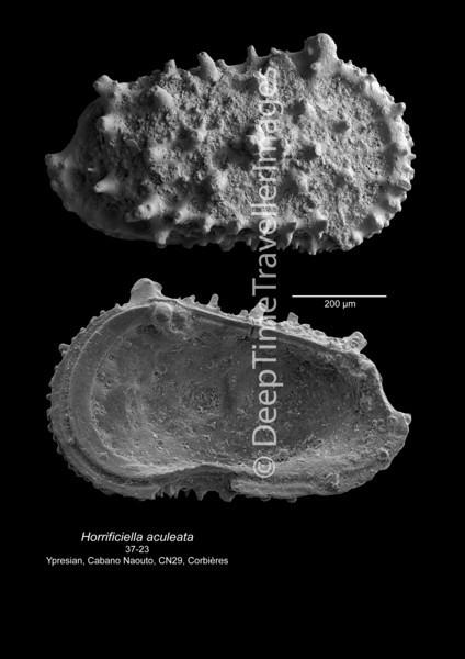 Horrificiella aculeata CN 29 37-23