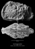 Dameriacella sigillata CN109 39-11