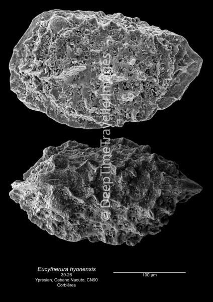 Eucytherura hyonensis CN90 39-26